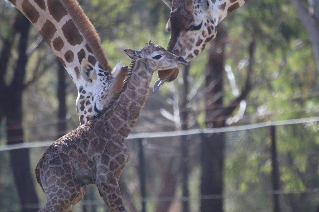 Foto: Reprodução Facebook/Taronga Zoo