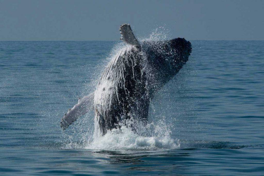 As baleias têm sido cada vez mais frequentes na região de Ilhabela. Foto: Julio Cardoso/ Projeto Baleia a Vista